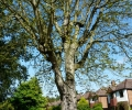 Moor Lane Horse Chestnut Tree