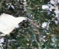 Tadpoles in Moor Lane Pond
