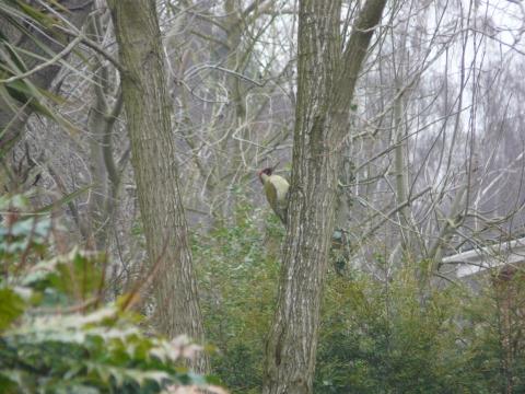 Wildlife: Green Woodpecker