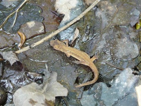 Wildlife: Smooth Newt