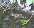 Wildlife: Common Frog
