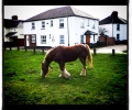 Ponies tethered on the Common