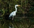 Grey Heron on Moor Lane Pond