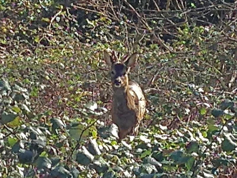 Deer on Westfield Common (22 Apr 2013)