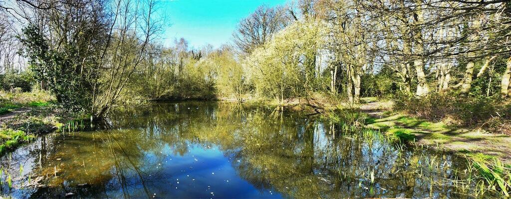 Ducks on Moor Lane Pond