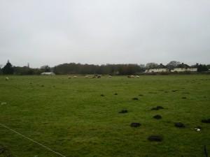 Sheep at Moor Lane