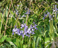 Bluebells on Moor Lane