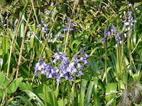 Bluebells on Moor Lane